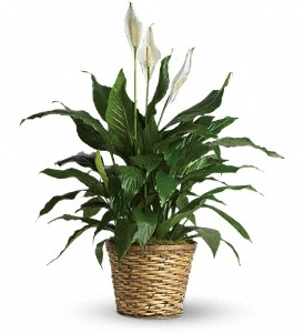 Peace Lily--Medium Spathiphyllum in Universal City, TX | BLOOMINGTONS FLOWER SHOP
