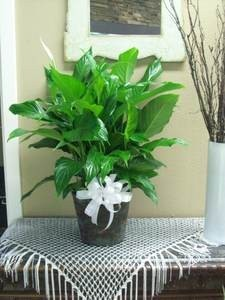 Peace Lily Plant in Ventura, CA | Mom And Pop Flower Shop