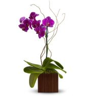 Phaleanopsis Orchid Single Double or Triple