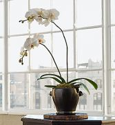 Potted Orchid Plant Phalaenopsis