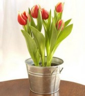Potted Tulips Hyacinth also Available
