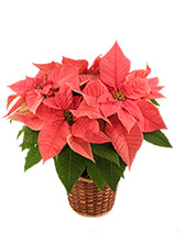 Pretty in Pink Poinsettia Blooming Plant