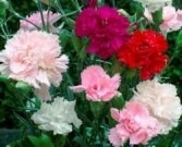 Red White Pink Carnations
