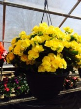 Rieger Begonia Hanging Basket available during the months May-July