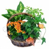 Small Plant in the basket  3C Floral Collection