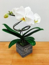 Spiral Phalaenopsis Pizzazz Orchid