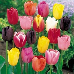 School Vacation Special! TULIPS IN A VASE in Leominster, MA | DODO'S PHLOWERS