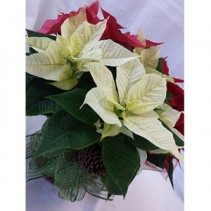 Tri Color Poinsettia Christmas