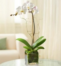 True Love Orchid Plant