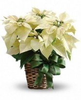 White Poinsettia Blooming Plant