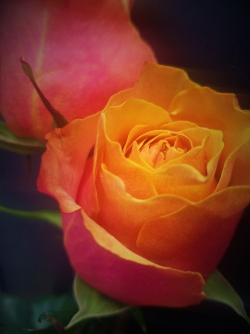 Roses From Maple Grove Floral Your Local Maple Grove Mn Florist F